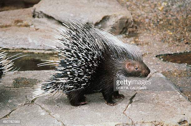 Crested porcupine Hystricidae