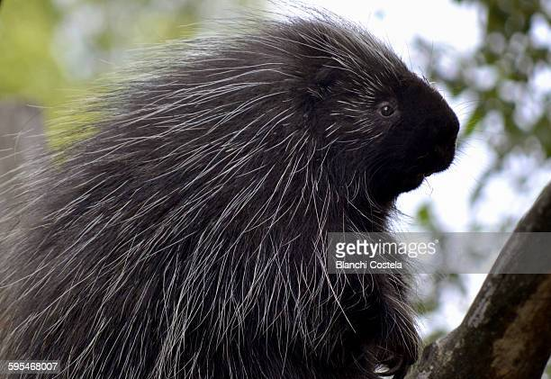 crested porcupine - porcupine stock photos and pictures