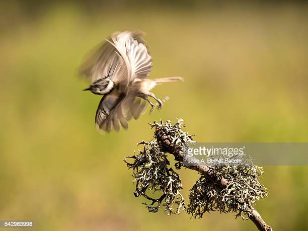 Crested Tit, bird of the species (Lophophanes cristatus ),of the family Paridae, flying on a branch with lichens