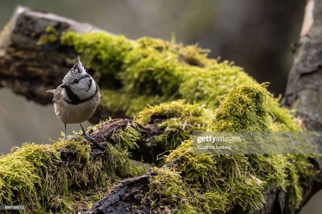 crested tit in old quince : Foto de stock