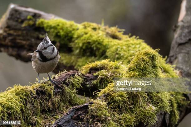 crested tit in old quince