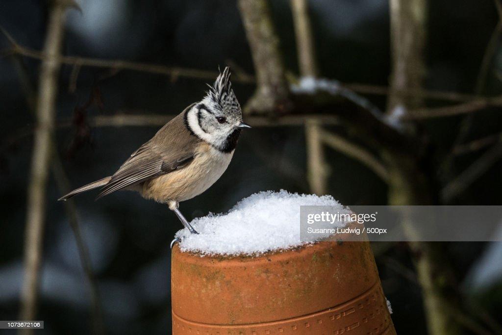 crested tit in snow : Foto de stock