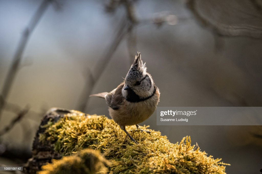 crested tit : Stock Photo