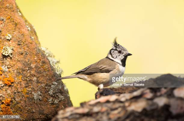 Crested Tit (Lophophanes cristatus), standingon a dry tree trunk, on a natural green and yellow background. Spain, Europe.