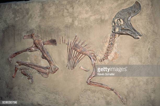 cretaceous lambeosaurus dinosaur fossil - fossil stock photos and pictures