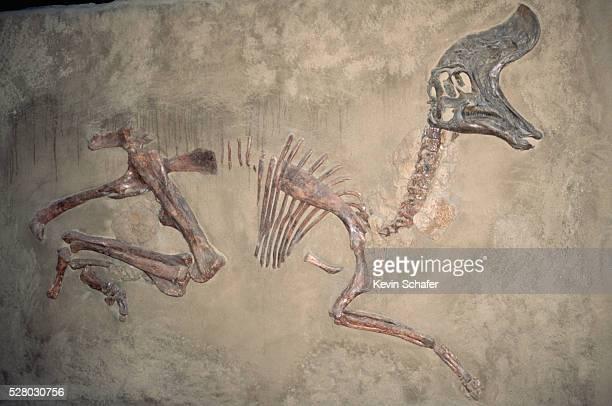 Cretaceous Lambeosaurus Dinosaur Fossil