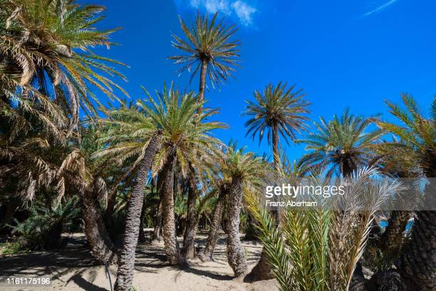 cretan date palm tree, vai beach, eastern crete - date palm tree stock pictures, royalty-free photos & images