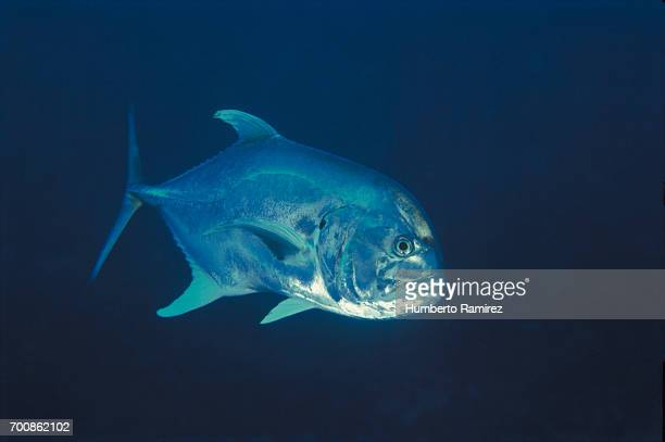 crevalle jack. - jack fish stock pictures, royalty-free photos & images