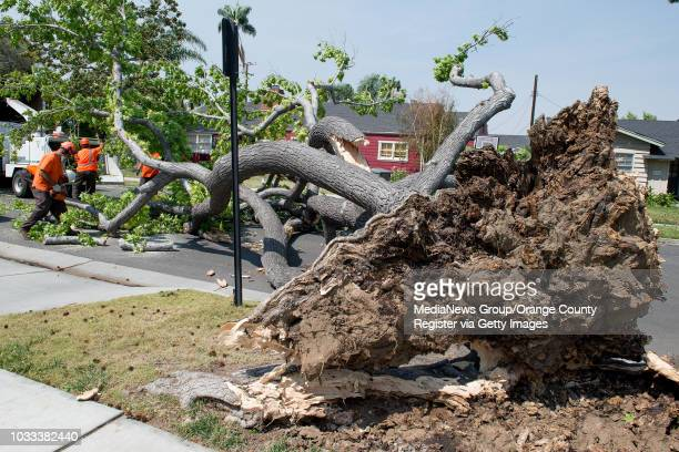 A crew from the City of Santa Ana left uses chainsaws to cut apart a large tree that was blown down on the 1500block of Towner Street in Santa Ana by...
