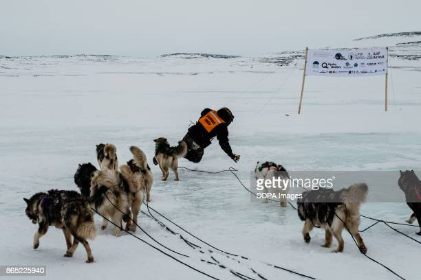 BAY INUKJUAK NUNAVIK QUEBEC CANADA A crew member falling after being pulled by the dogs just behind him who is in charge of orienting the dogs on...