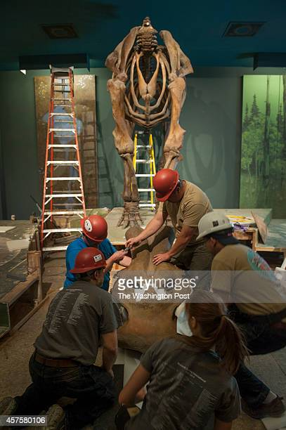Crews carefully lay down a 250pound skull of a Wooly Mammoth skeleton being deconstructed at the Smithsonian Museum of Natural History in Washington...