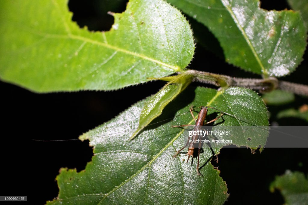 Cricket bug on green leaves, night in Borneo rainforest, Malaysia : Stock Photo