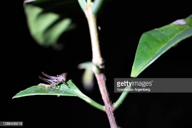 cricket, grasshopper in tropical forest, maliau basin, borneo, malaysia - argenberg ストックフォトと画像