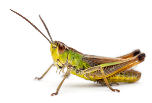 Cricket in front of white background 136229363
