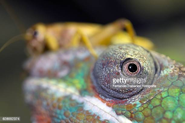 cricket on the head of a chameleon - animal finger stock photos and pictures