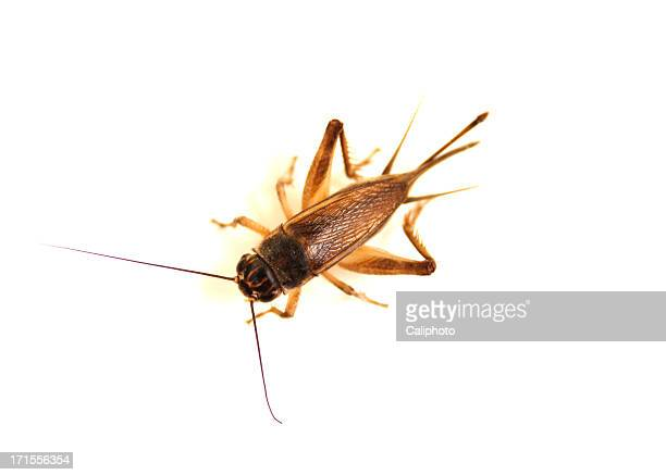 cricket on white - cricket insect stock pictures, royalty-free photos & images
