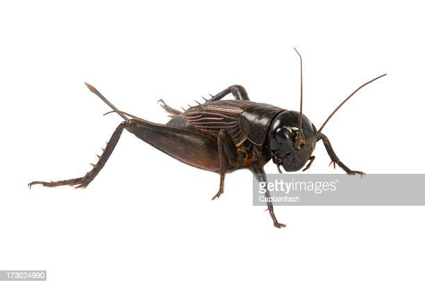 cricket - cricket insect stock pictures, royalty-free photos & images