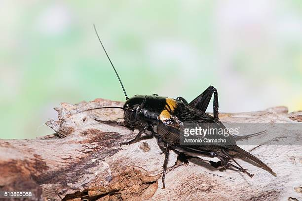 cricket - コオロギ ストックフォトと画像