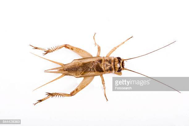 cricket - cricket insect stock photos and pictures
