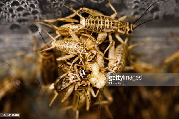 Crickets sit in plastic containers in a climate controlled growth room on the Siikonen family farm in Forssa Finland on Tuesday June 26 2018 On their...