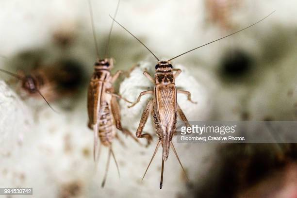 crickets sit in plastic containers in a climate controlled growth room - cricket insect stock pictures, royalty-free photos & images