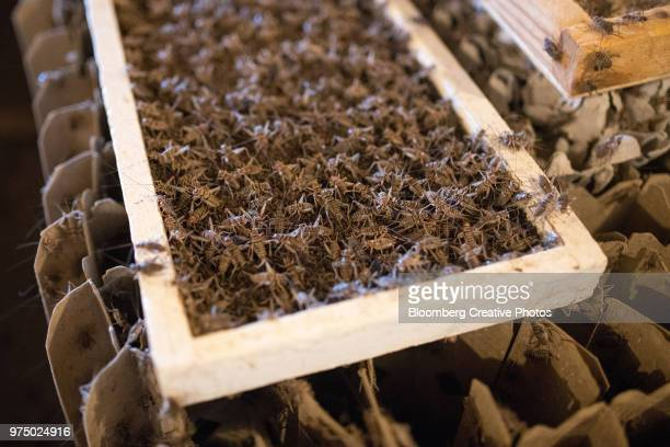 crickets swarm over a feeder tray at a farm - cricket insect photos stock pictures, royalty-free photos & images