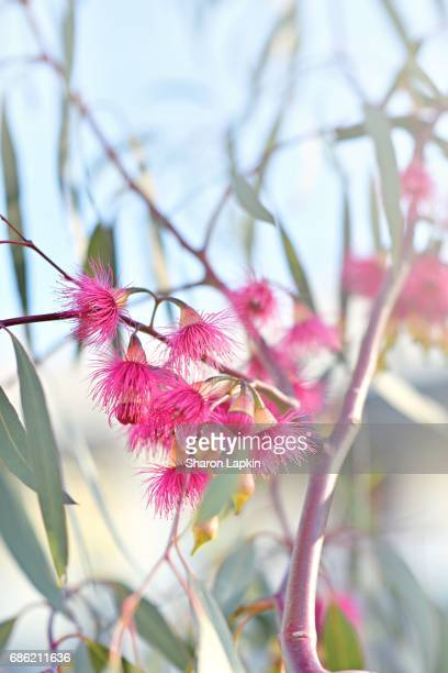 Crimson eucalyptus flowers bursting into bloom