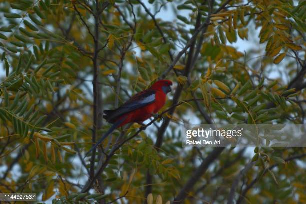 crimson rosella bird - rafael ben ari imagens e fotografias de stock
