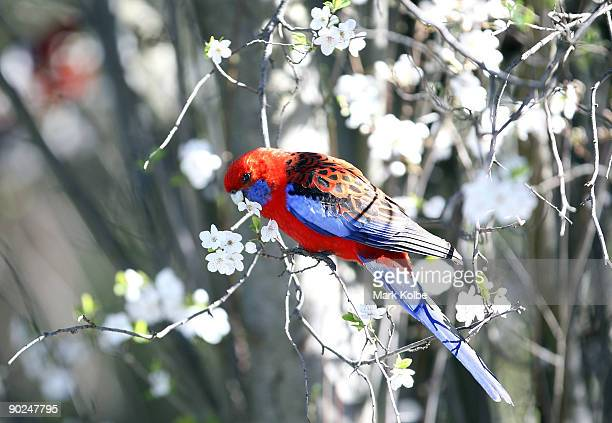 Crimson Rosella eats flower blossoms on a tree on the first day of spring September 1 2009 in Canberra Australia In the Southern Hemisphere Spring...