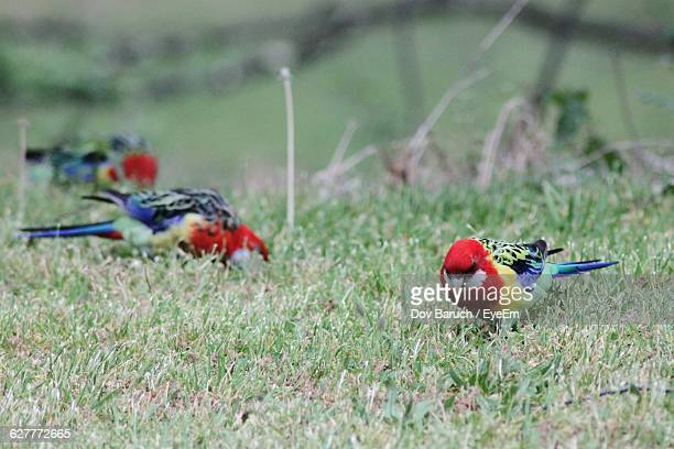 crimson rosella on grassy field - barulho stock pictures, royalty-free photos & images