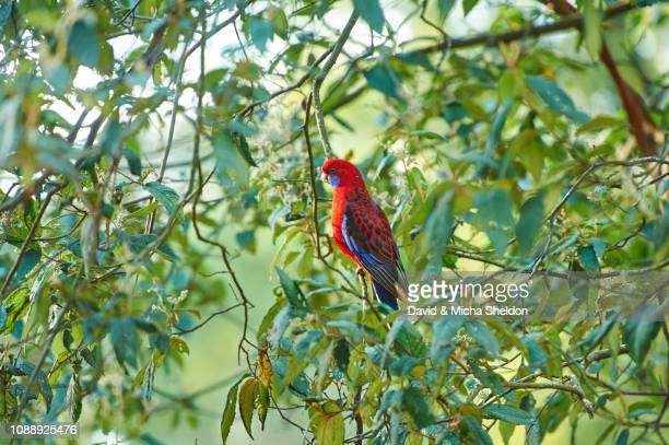 crimson rosella (platycercus elegans) sitting in a tree, dandenong ranges national park, victoria - victoria australia stock pictures, royalty-free photos & images