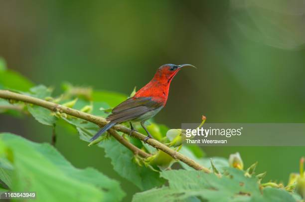 crimson sunbird , (aethopyga siparaja) - animal body stock pictures, royalty-free photos & images