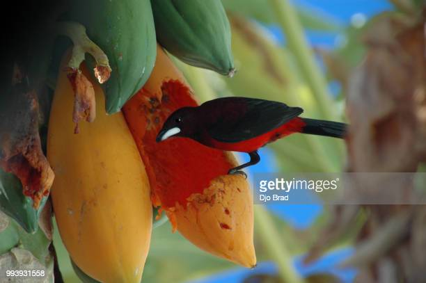 crimson-backed tanager : papaya lover from tahiti - french overseas territory stock pictures, royalty-free photos & images