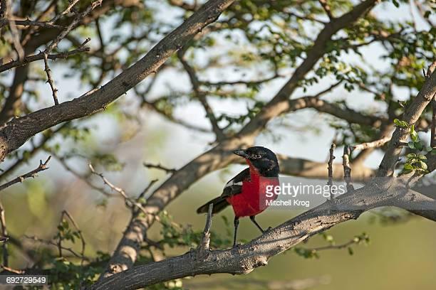 Crimson-breasted boubou bird (crimson-breasted shrike) (Laniarius atrococcieneus) Etosha National Park, Namibia