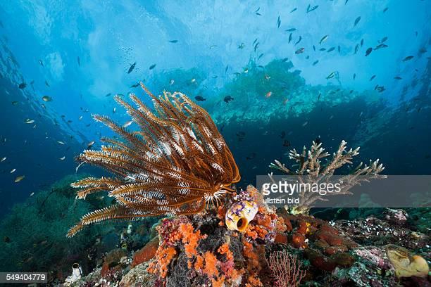 Crinoid in Coral Reef, Comanthina sp., Raja Ampat, West Papua, Indonesia