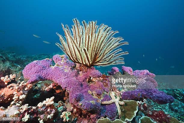 Crinoid in Coral Reef Florida Islands Solomon Islands