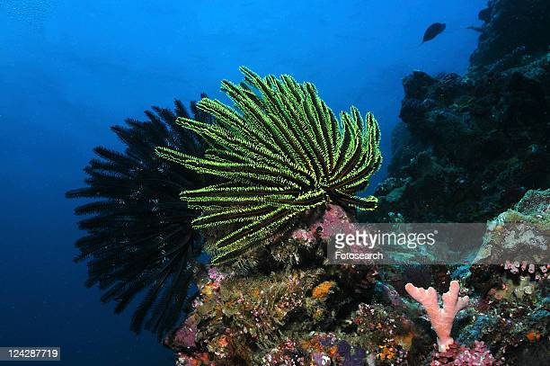 crinoid (oxycomantus bennetti), large individuals on edge of coral with blue water behind, sipadan, mabul, borneo, malaysia, south china sea - crinoidea stock pictures, royalty-free photos & images