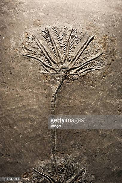 crinoid(sea lily)fossil - palaeontology stock pictures, royalty-free photos & images