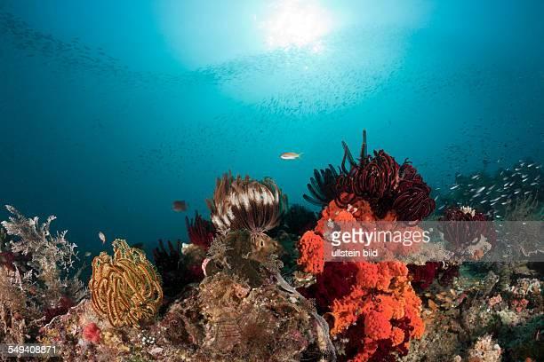 Crinoids on Coral Reef, Comanthina sp., Raja Ampat, West Papua, Indonesia