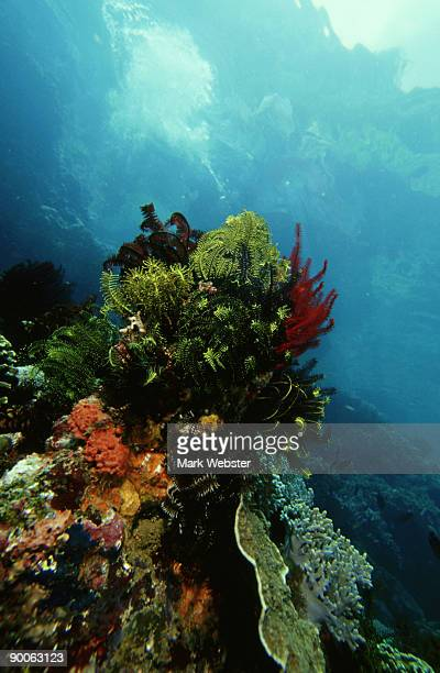crinoids or feather stars, comanthina sp, rinca island, indonesia - rinca island stock pictures, royalty-free photos & images