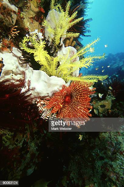 crinoids/feather stars, comanthina sp, rinca island, indonesia - the webster stock pictures, royalty-free photos & images