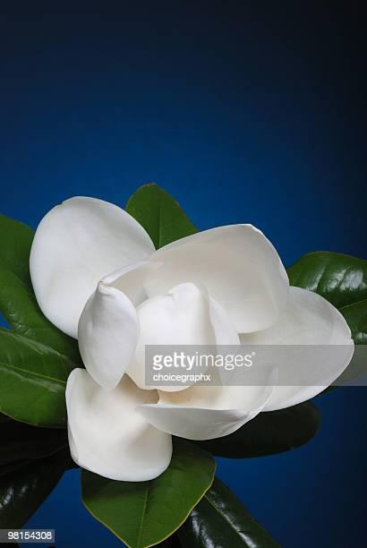 Crisp white magnolia flower blossom with green leaves