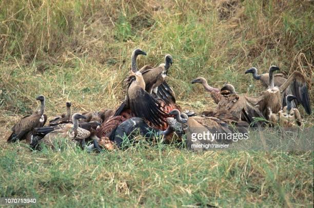 Critically endangerd wild flock white backed vultures eat Cape buffalo carcass Tanzania