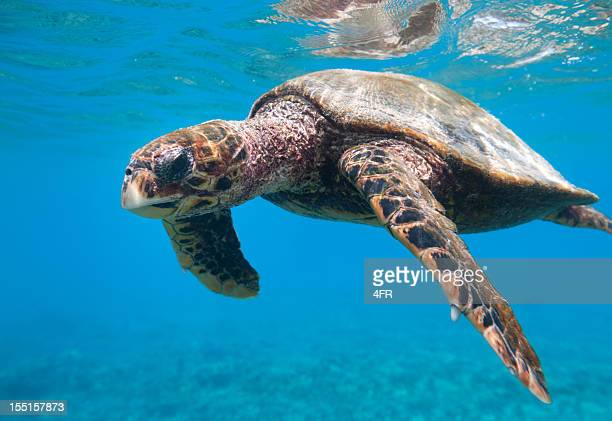 critically endangered hawksbill sea turtle (eretmochelys imbricata) in wildlife (xxxl) - hawksbill turtle stock pictures, royalty-free photos & images
