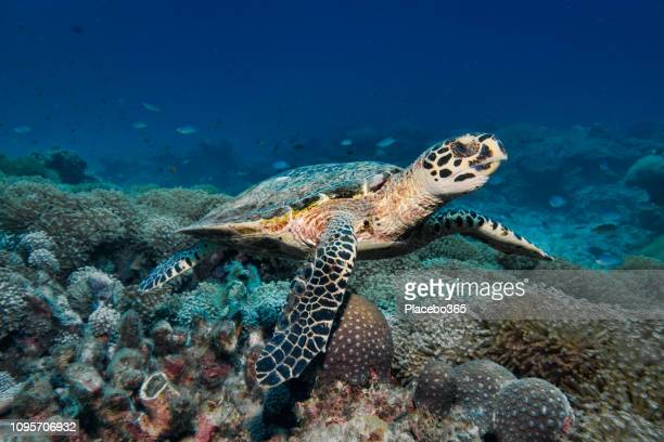 critically endangered hawksbill sea turtle (eretmochelys imbricata) on cleaning station - hawksbill turtle stock pictures, royalty-free photos & images