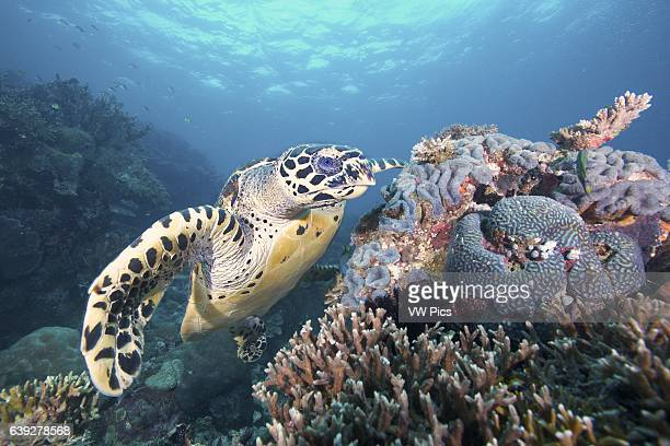A critically endangered hawksbill turtle looking for food in Southern Leyte Philippines