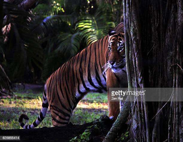 Critically endangered Malayan Tiger, Panthera tigris jacksoni, harimau, rimau