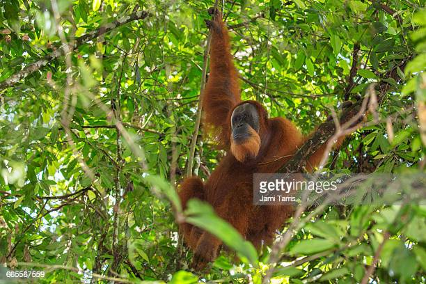A critically endangered male orangutan