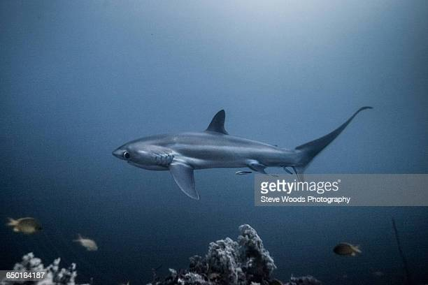 Critically endangered Thresher Shark (Alopias pelagicus) swimming in the deep water off Malapascua Island, Cebu, Philippines