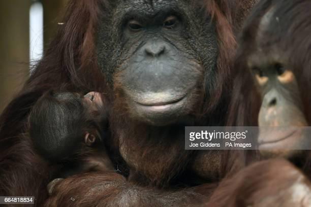 Criticallyendangered Bornean orangutan Maliku with her week old baby at Twycross Zoo in Leicestershire